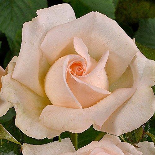 Edelrose 'Chandos Beauty ®' ist eine creme-apricot bis zartrosafarbene, öfterblühende Gartenrose mit intensivem Duft. Im 6 Liter Topf. 6 lt. Topf