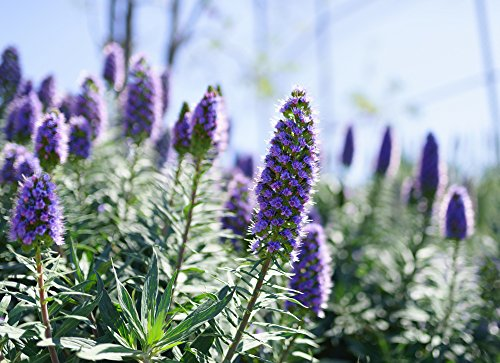Blauer Natternkopf 100 Samen (Echium Vulgare)