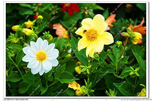 Double Dahlia Seed Mini Mary Fleurs Graines Bonsai Plante en pot bricolage jardin odorant Fleur, croissance naturelle de haute qualité 50 Pcs 18