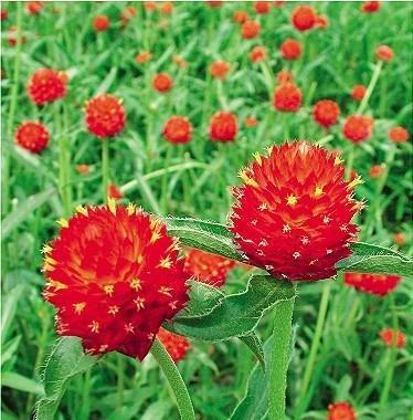 Best Summer Flower in the US -Globe amaranth