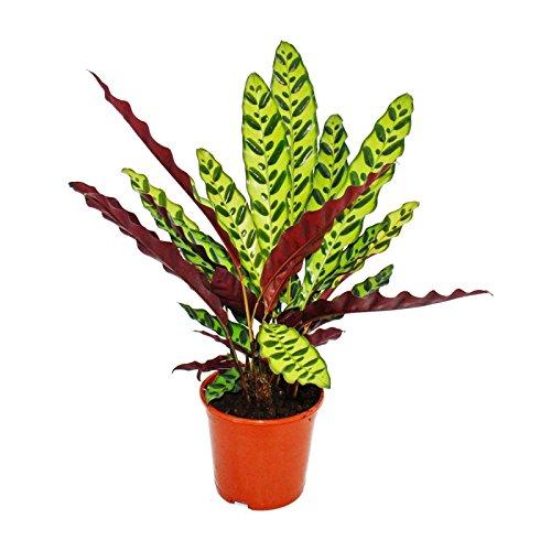 Exotenherz - Schattenpflanze mit ausgefallenem Blattmuster - Calathea lancifolia - 14cm Topf - ca. 50cm hoch