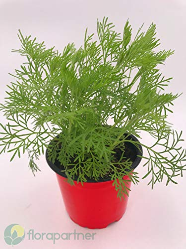 Cola Kraut Artemisia abrotanum var. maritima Kräuter Pflanzen1Stk.