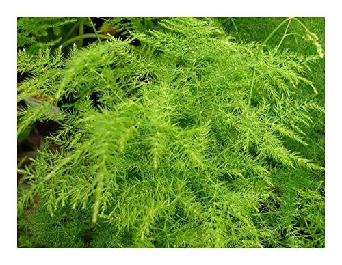 Asparagus setaceus - syn: Asparagus plumosus - 10 graines