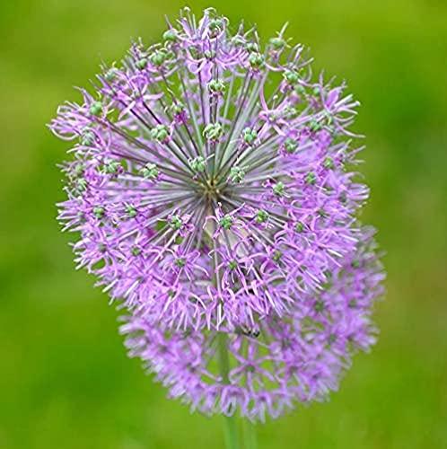 15 Stück Allium Zwiebeln zum Pflanzen Exquisite Aroma Blumen Cluster Hochwertige Gartenlandschaft Verleiht der Gartendekoration Farbe Dekorative Schnittblumen
