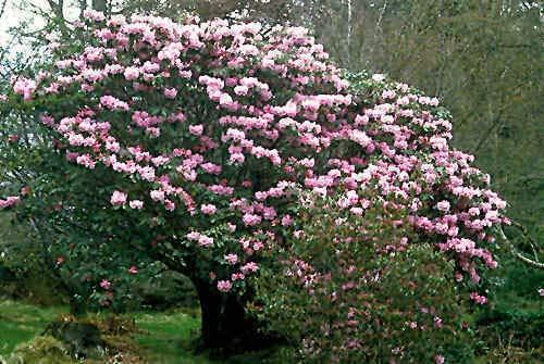 Rhododendron fortunei Rhododendron Samen!