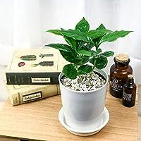 観葉植物 コーヒーノキ アラビカ 4号鉢 受け皿付き 育て方説明書付き Coffea arabica コーヒーの木 珈琲の木 アラビカコーヒー