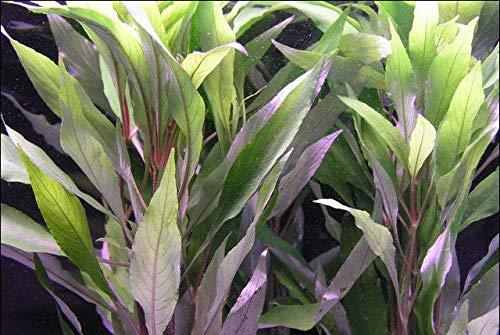WFW wasserflora Großer Rosetten-Wasserfreund/Hygrophila Angustifolia - Hygrophila stricta