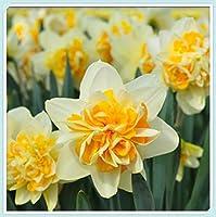 スイセン球根 - 黄色の美しい植物の花の装飾、珍しい水仙の鉢植えの水耕植物,10球根