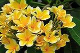 Plumeria 4 Samen'Yellow' Frangipani Samen