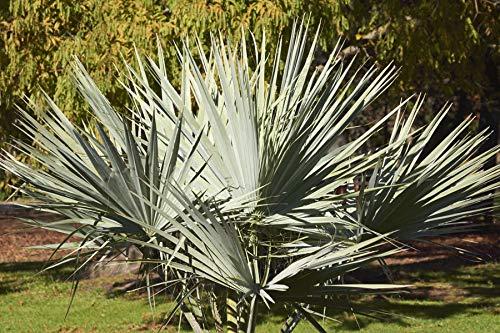 Portal Cool Brahea Armata (Mexican Blue Palm) - 5 Samen. Hardy Little Palm With Blue Leaves