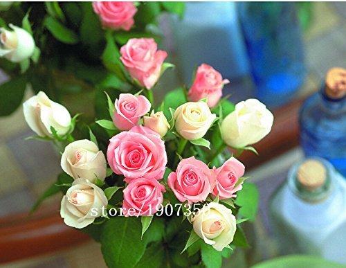 semences de gazon Rose, graine de géranium Inde, de l'odeur de roses, de plantes Pelargonium - 100 particules/sac