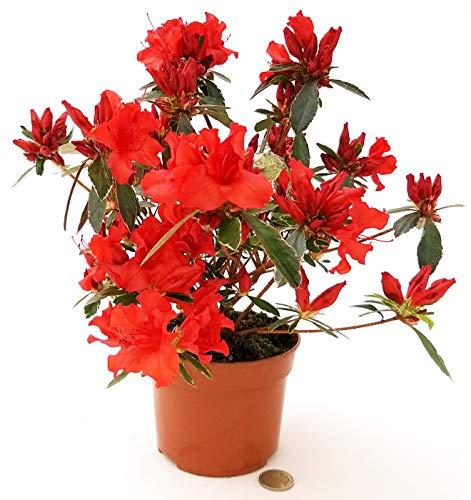 AZALEA DA ESTERNO ROSSA, vaso 15cm, pianta vera