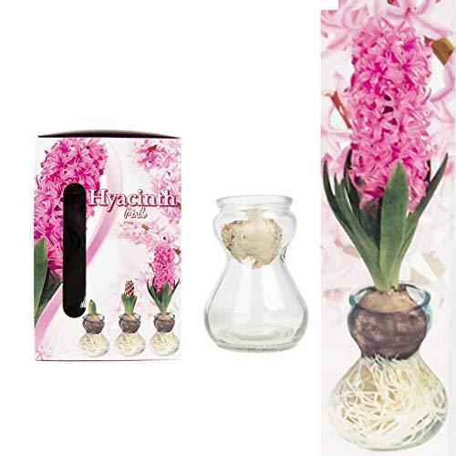 Set - Bunte Hyazinthen Blumenzwiebeln im Glas - mehrjährig und winterhart - echte Pflanzen im Glas - sehr pflegeleicht und in verschiedenen Farben erhältlich (3 ROSA)