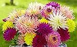 (5) High Summer Mix Flowering Dahlia Bulbs, Plants, Flowers, SeedsBulbsPlants&More