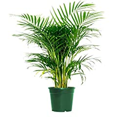 Areca Palm gets its nickname, the butterfly palm, because its long feathery fronds (leaves) arch upwards off multiple reed- like stems, resembling butterfly wings Areca Palm is one of the few palms that can tolerate trimming without serious harm, mak...