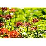 赤いリコリス球根魅力的な彼岸花ブルーム珍しい植物曼殊沙華,2球根