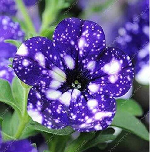 Elitely 100 Samen Petunien Samen Blaue Petunien Samen Europa Einzigartige dunkelblaue Blumen Kerzen Samen Bonsai Garten Court