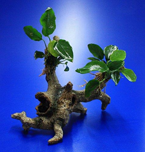 WFW wasserflora Speerblatt-Urwaldbaum mit Höhle/Regenwaldbaum mit Anubia Nana