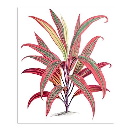 Cordyline Fruticosa – beeindruckende...