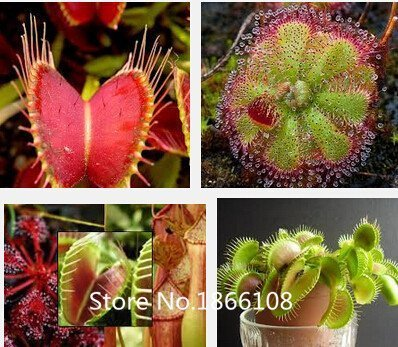 Home & Garden 100 Mix carnivore carnivore Lot espèces Graines – Venus Flytrap et Sundews Bulk Lot de graines de bonsaï Verieties Flowe