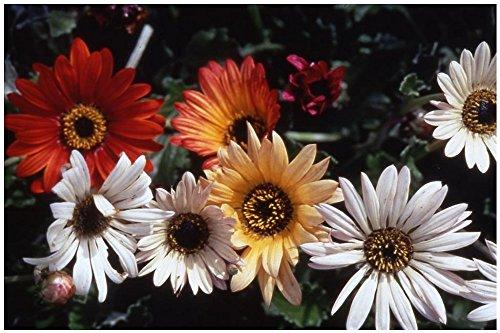 Lot de 10 graines de Arctotis à grandes fleurs Harlequin mélange - annuelle