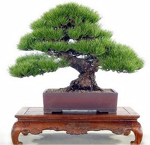 20Pcs Bag Pine Seed New color Landscape Plant Potted SEAL limited product