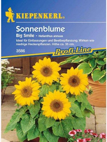 Helianthus annuus Sonnenblume Big Smile gelb niedrig