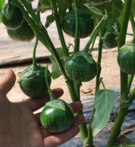 30 ++ Petch Siam Thai Aubergine Seeds