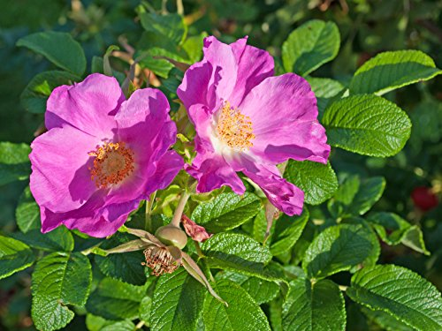 Rosa rugosa, Hagebutten, Cont. 40 - 60 cm