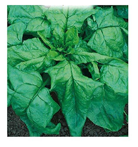 1000 c.ca zaden spinazie monstrueux de viroflay - spinacea oleracea - in originele verpakking - gemaakt in italië - spinazie - sp005