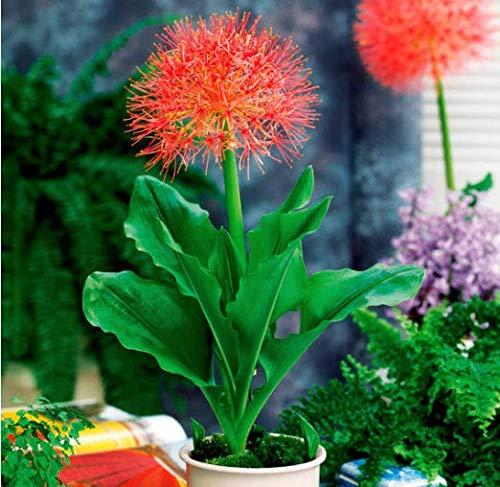 Gartensamen SummerRio- Selten blutblume zwiebeln blumen blutblume samen Agapanthus Pflanzen Scadoxus multiflorus Blumensamen mehrjährig winterhart für Topf und Vase