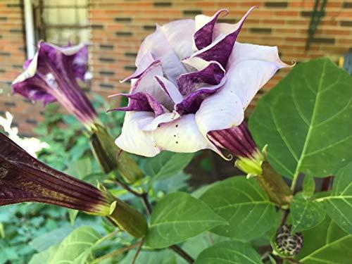 PLAT FIRM GRAINES DE Germination: Double Purple Angel's Trumpet 20Seeds Fragrant/Perennial