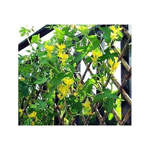 Kanarische Creeper, Kanarische Vogel Vine - Tropaeolum peregrinum - - 24 Samen