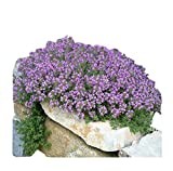 8000+ Creeping Thyme Seeds - Perennial Herb for Landscaping