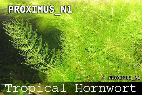 Ceratophyllum demersum / Hornkraut - 1 Bund