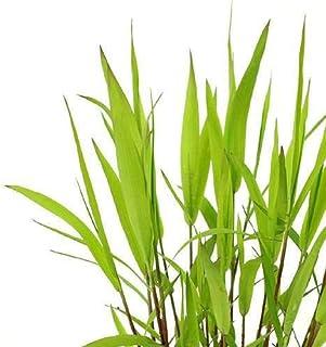 (ビオトープ)水辺植物 ツルヨシ(1ポット) 湿生植物 (休眠株)