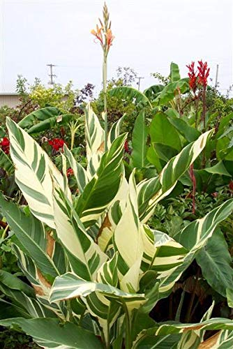Green Seeds Co. 20 Pcs/Sac Canna Bonsaï Plantes en pot bricolage intérieur * BONSAI extérieur Bonsaï Taux de germination de 95% de couleurs mélangées Fleurs de jardin: Bleu