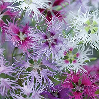 """Dianthus Seeds, Rainbow Loveliness Mix, Soft, feathery Cut Flower and Romance Gardens. Perennials, Ideal for The Beginning Gardener."""" (1 oz Pack) by AchmadAnam"""