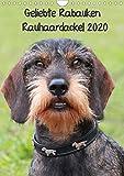 Geliebte Rabauken - Rauhaardackel (Wandkalender 2020 DIN A4 hoch)