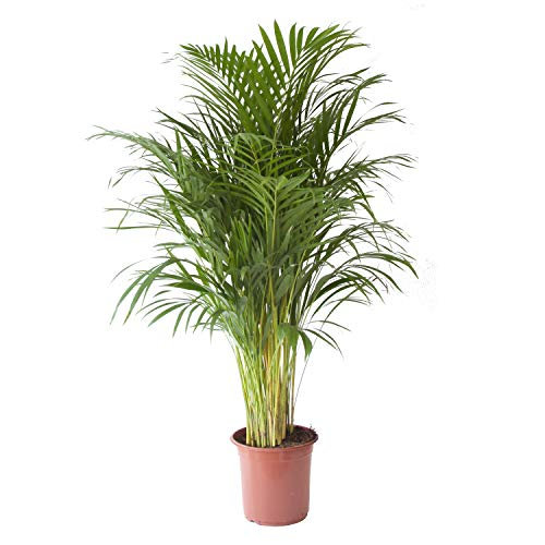 Planta de interior de Botanicly – Palma Areca – Altura: 125 cm – Areca dypsis lutescens