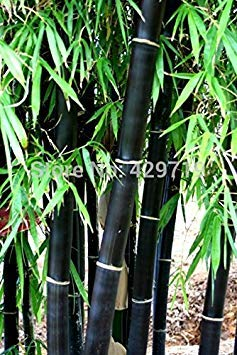Artimag Loss Promotion! 20 Bamboo Seeds Rare Giant Black moso Bamboo Bambu Seeds Professional Pack Bambusa Lako Tree Seeds for Home Garden