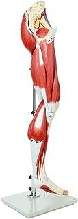 Best 3d leg muscle model Reviews
