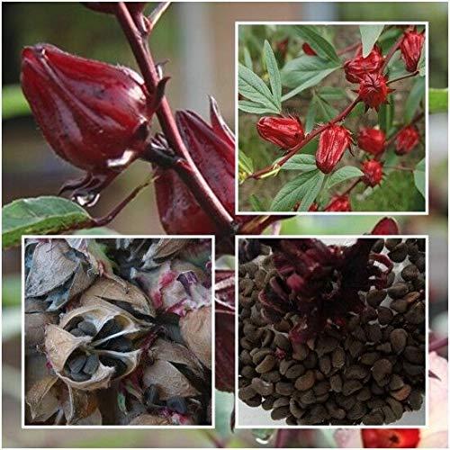 Hibiscus sabdariffa Samen Roselle lecker als Tee oder im Sekt Karkade