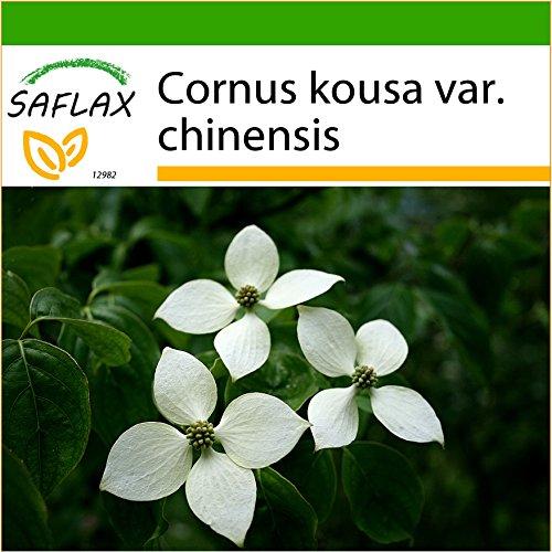 SAFLAX - Asiatischer Blüten - Hartriegel - 30 Samen - Mit keimfreiem Anzuchtsubstrat - Cornus kousa