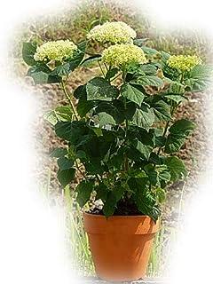 アナベル鉢植え 素焼き鉢セット 6月開花 アナベル