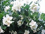 Mock Orange Sweet English Dogwood Philadelphus Coronarius Shrub Flower tynsw2 (20 Seeds)