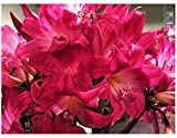 Rose Hot Pink Amaryllis Belladonna - 5 Small Bulbs - Rare Color