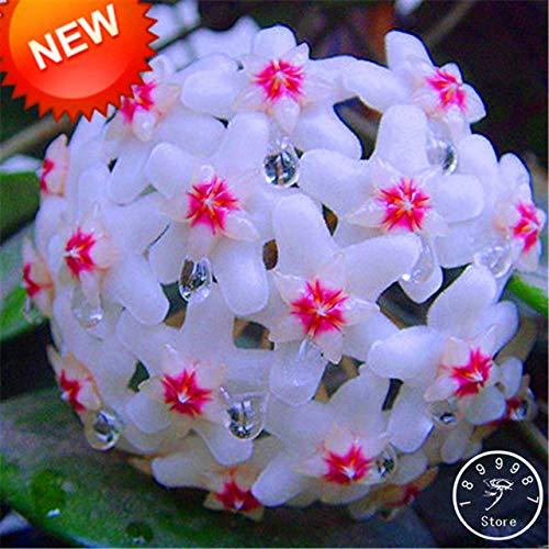 RETS Sale!Fuchsia Ball Orchid Bonsai Hoya Carnosa Plantas Potted Orchid Garden Plants 100 Pcs/Pack, 20