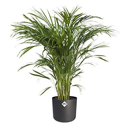 Planta de interior de Botanicly – Palma Areca en maceta antracita cilíndrica como un conjunto – Altura: 100 cm – Areca dypsis lutescens