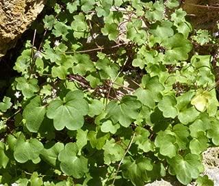 Kenilworth Ivy Cymbalaria Muralis 499+ Bulk Seeds uKE -658